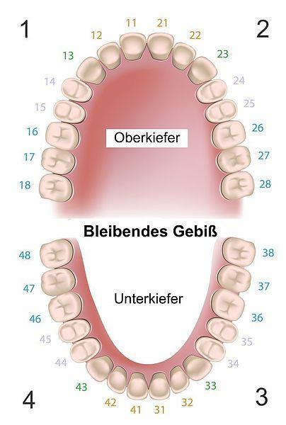 Anatomie unserer Zähne | Dentcoat
